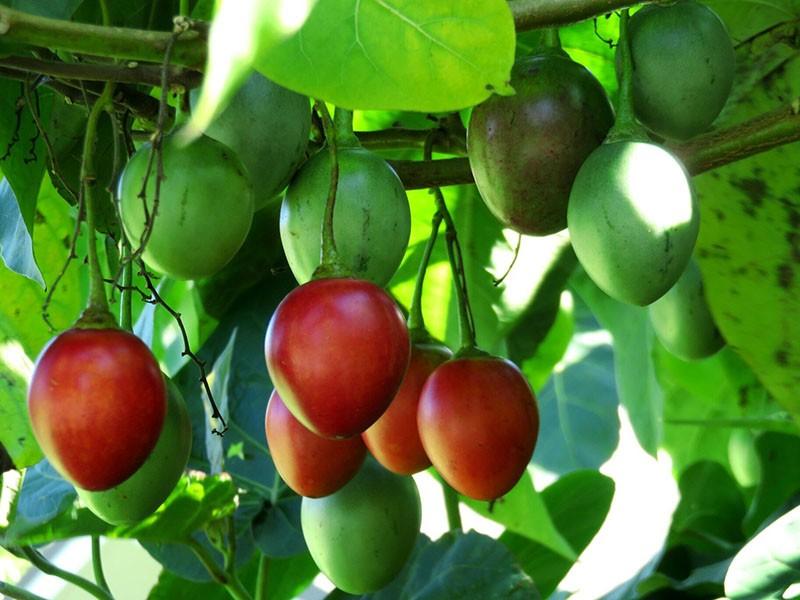 ботанические особенности томатного дерева