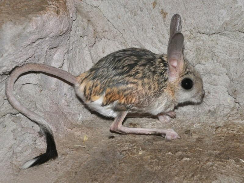 тушканчик или земляной заяц