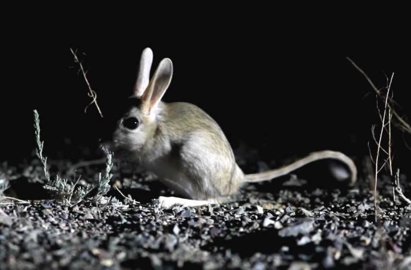 образ жизни земляного зайца