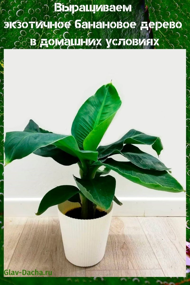 банановое дерево в домашних условиях