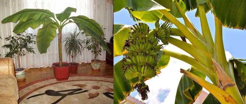 разновидности бананового дерева