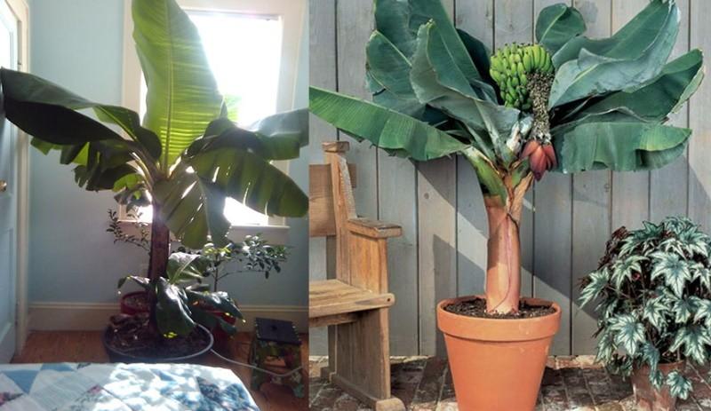 выращенное банановое дерево в домашних условиях
