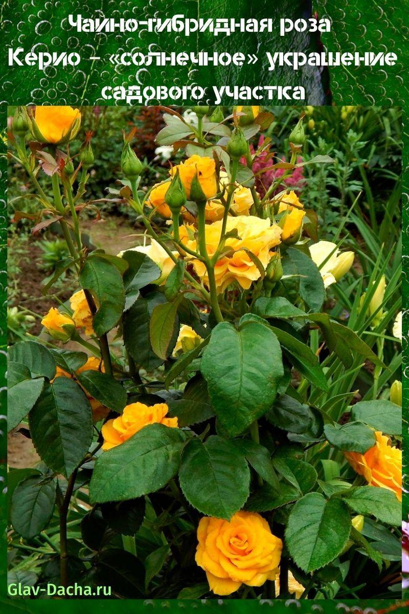 чайно-гибридная роза керио