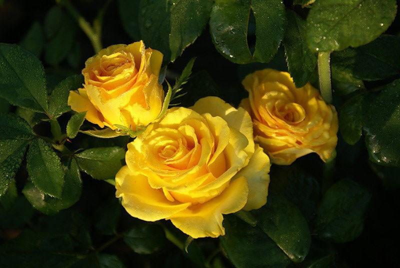 особенности розы сорта керио