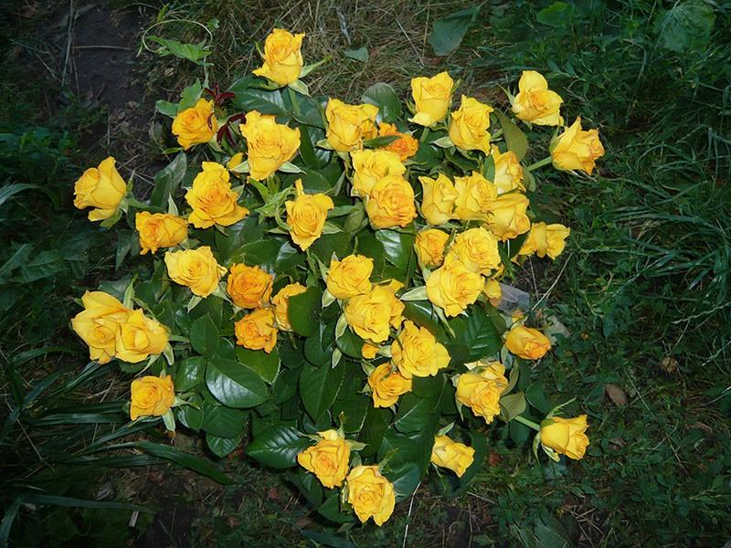 пышное цветение розы керио