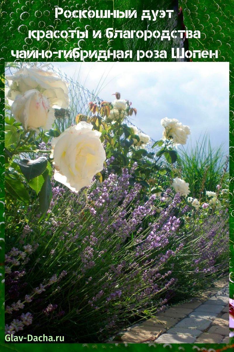чайно-гибридная роза Шопен