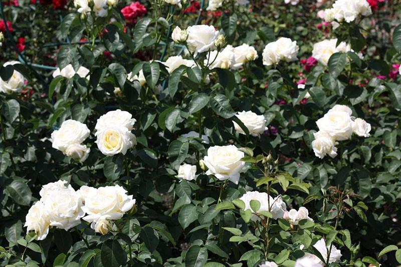 роза сорта Шопен