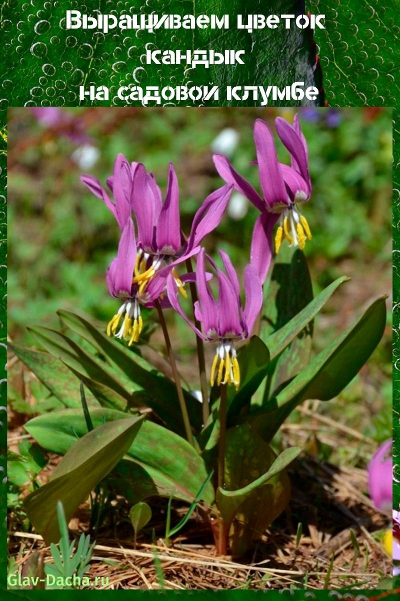 выращиваем цветок кандык