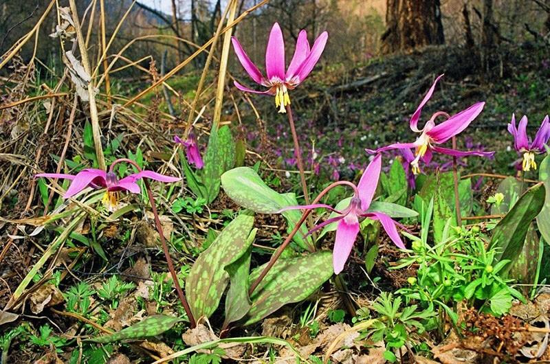 растение из семейства лилейниковые