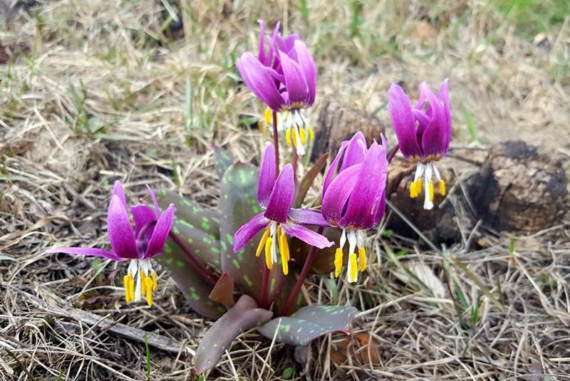 цветок кандык в дикой природе