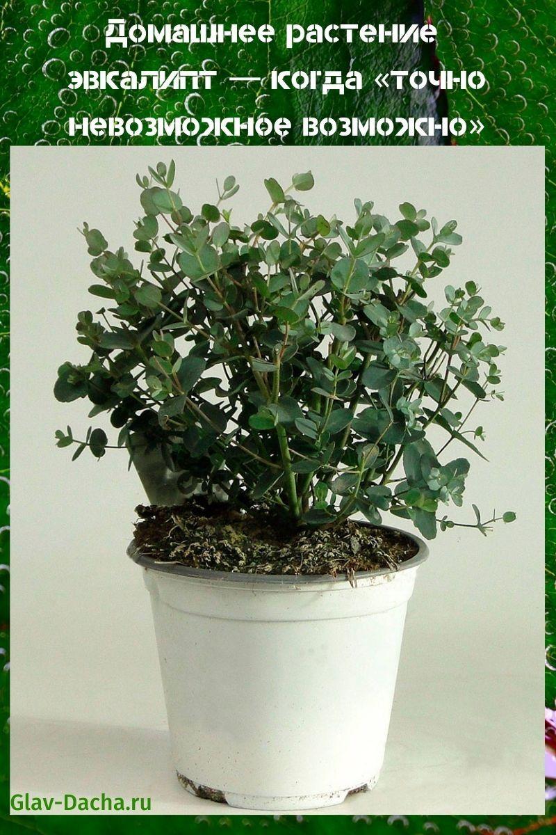 домашнее растение эвкалипт