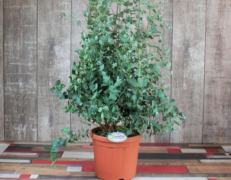 выращивание эвкалипта в домашних условиях