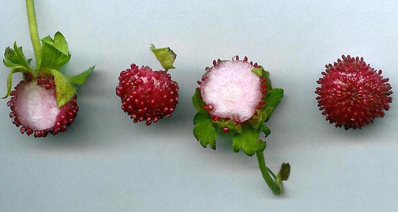 плоды дюшенеи