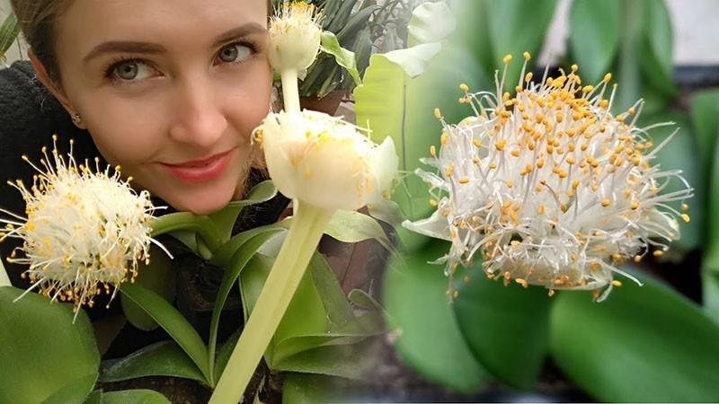 комнатное растение гемантус олений язык
