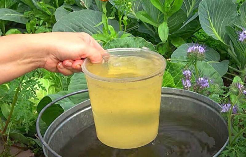 какой водой поливать капусту