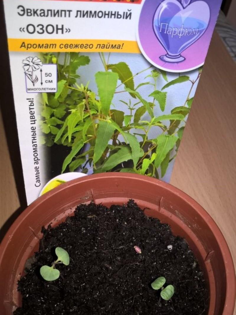 как размножить эвкалипт семенами