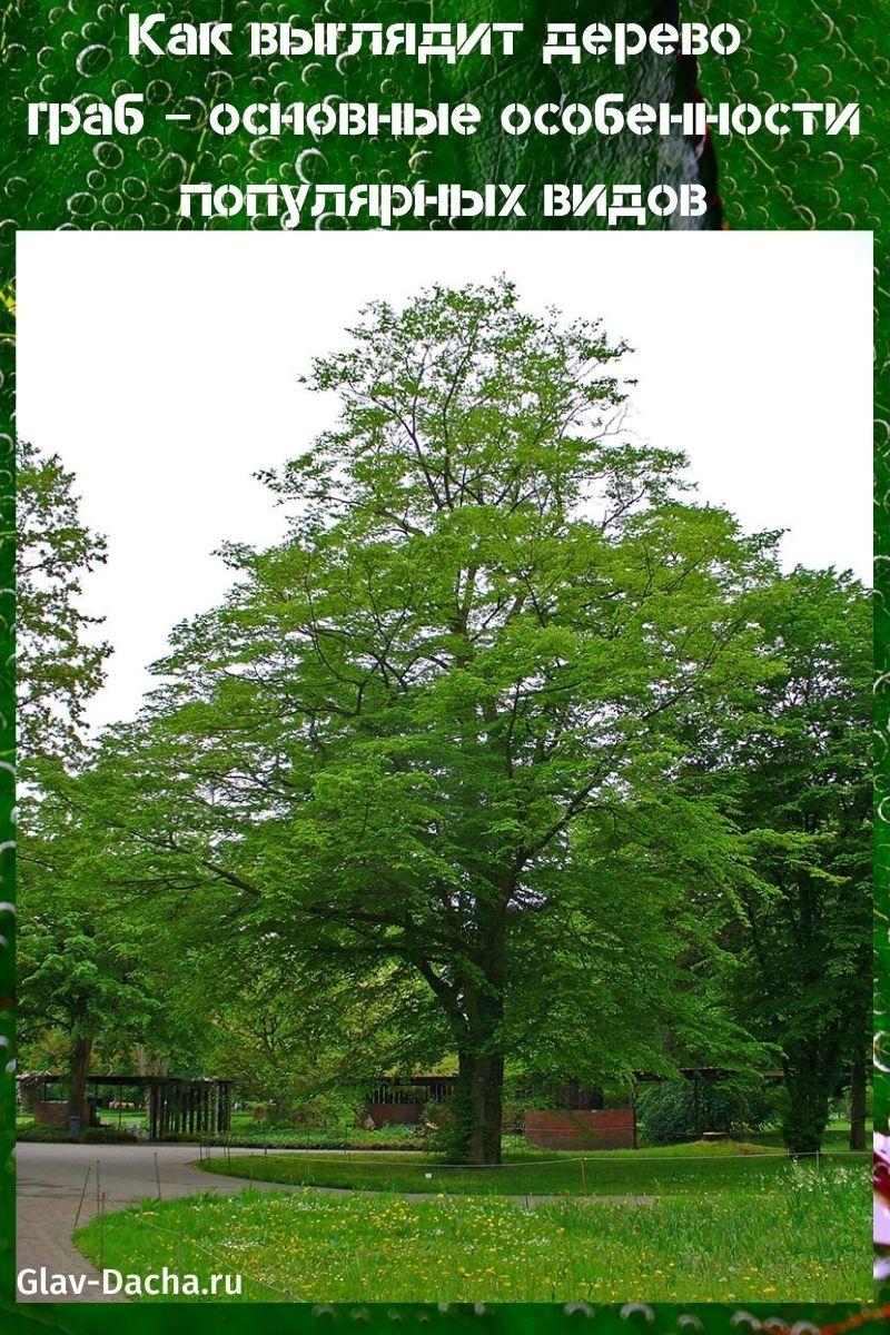 как выглядит дерево граб