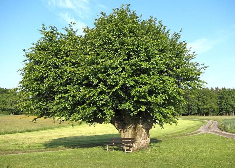 как выглядит дерево граб и где растет