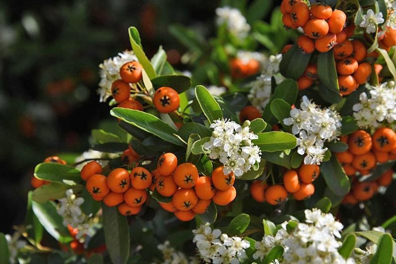 цветы и плоды пираканты