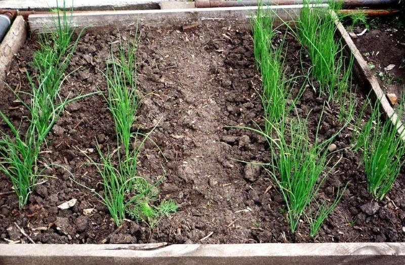 посев порея в открытый грунт