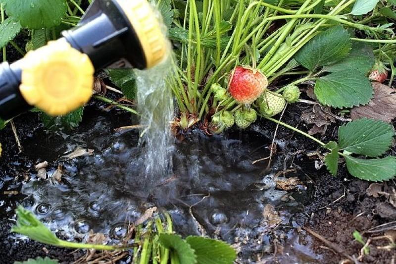 поливать ли клубнику во время созревания ягод