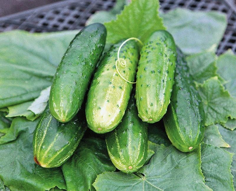 сочные зеленцы