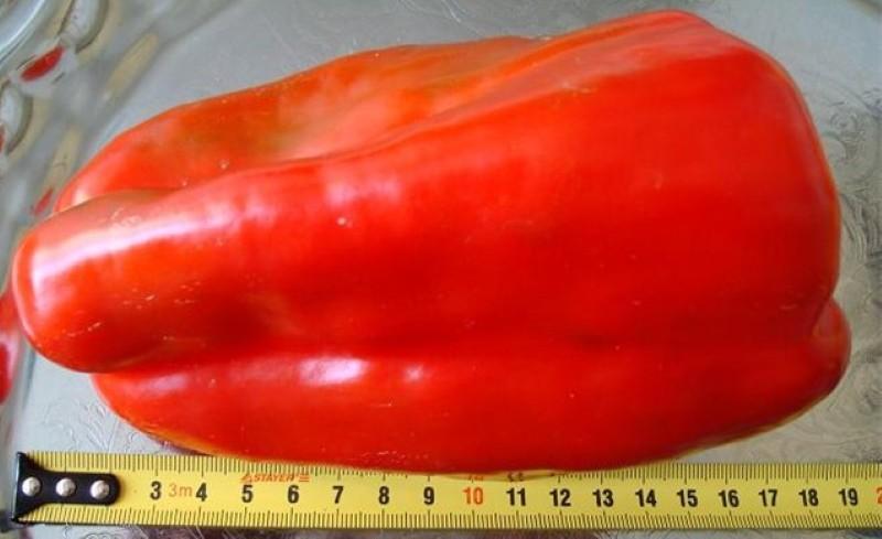 плоды перца агаповский