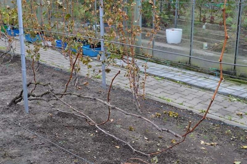 побелка винограда осенью