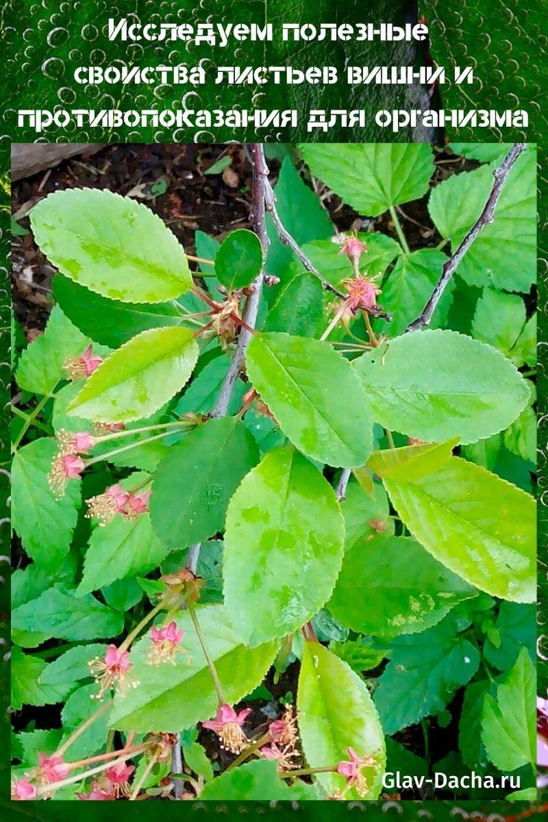 полезные свойства листьев вишни и противопоказания