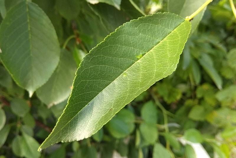 химический состав листьев вишни