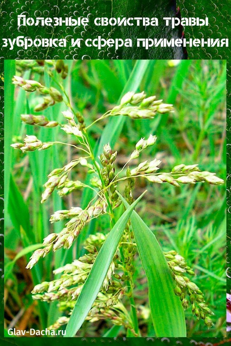 полезные свойства травы зубровка