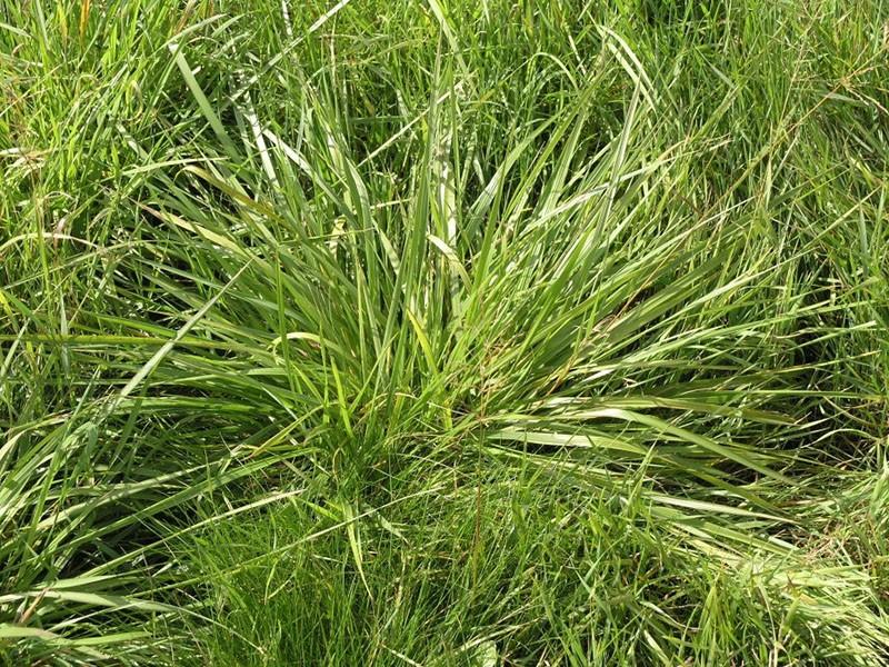 растет трава зубровка