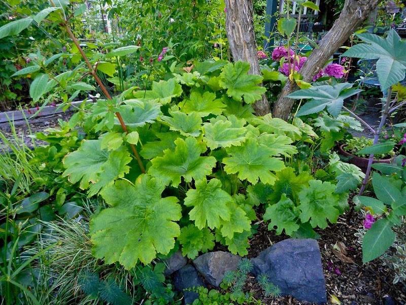 растение больших размеров для сада