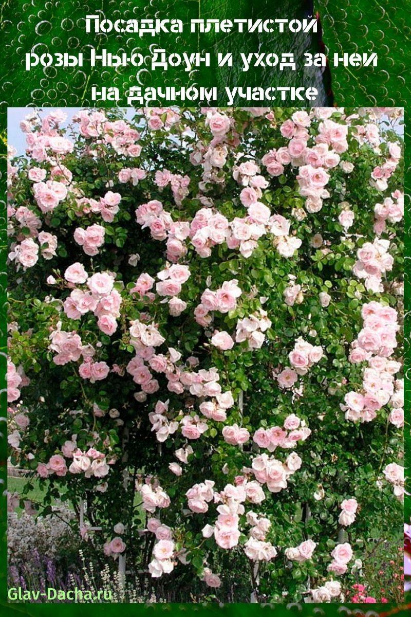 посадка плетистой розы Нью Доун и уход
