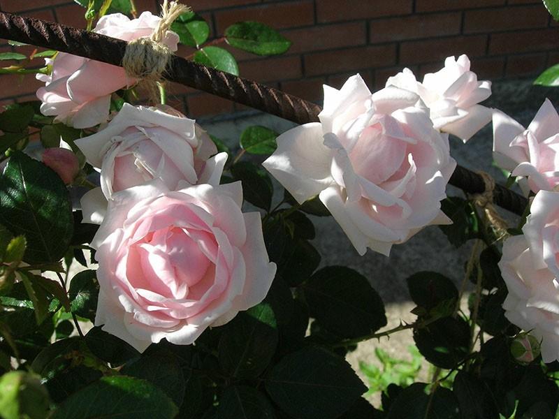 ароматная нежная роза