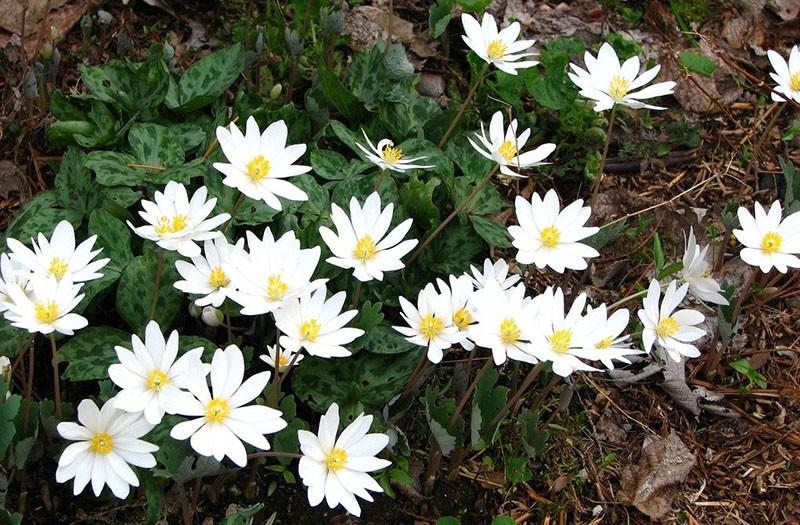 многолетний цветок сангвинария
