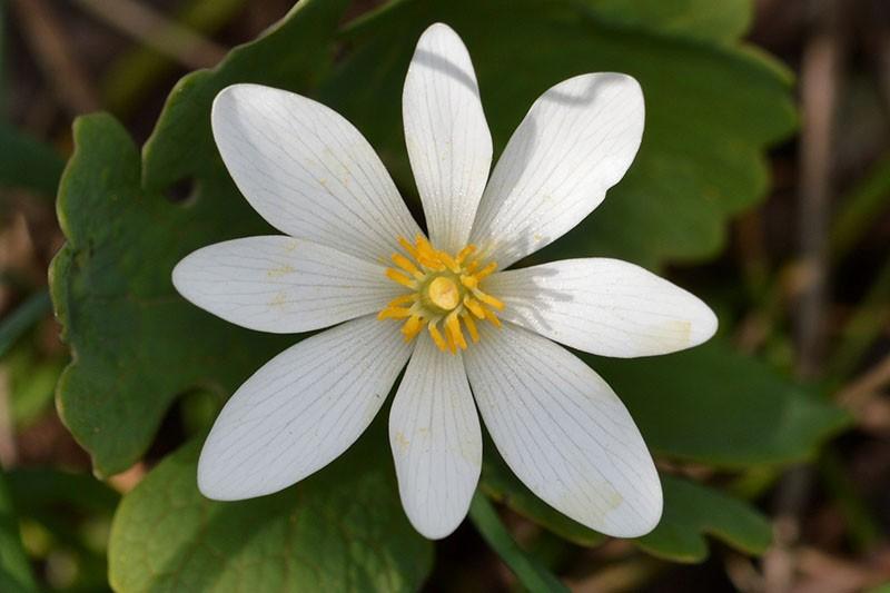 растение из семейства маковых