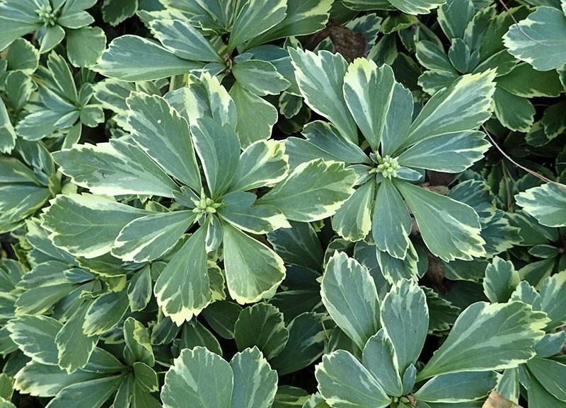 растение семейства самшитовые