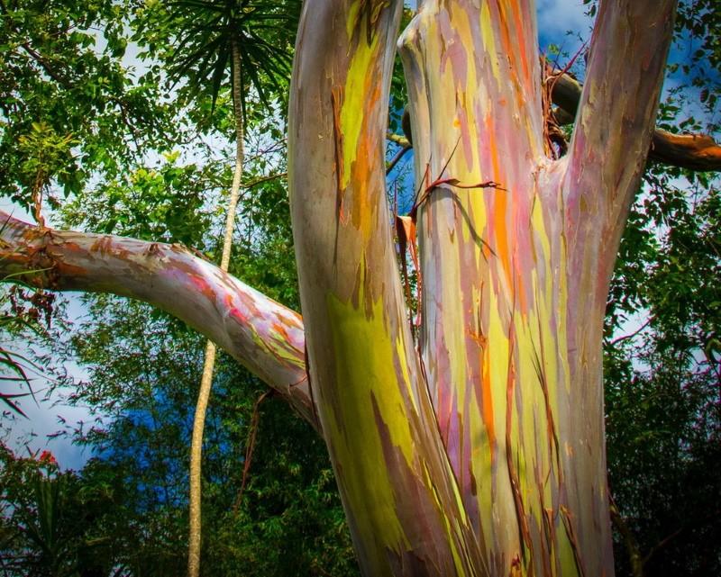 взрослое дерево радужного эвкалипта