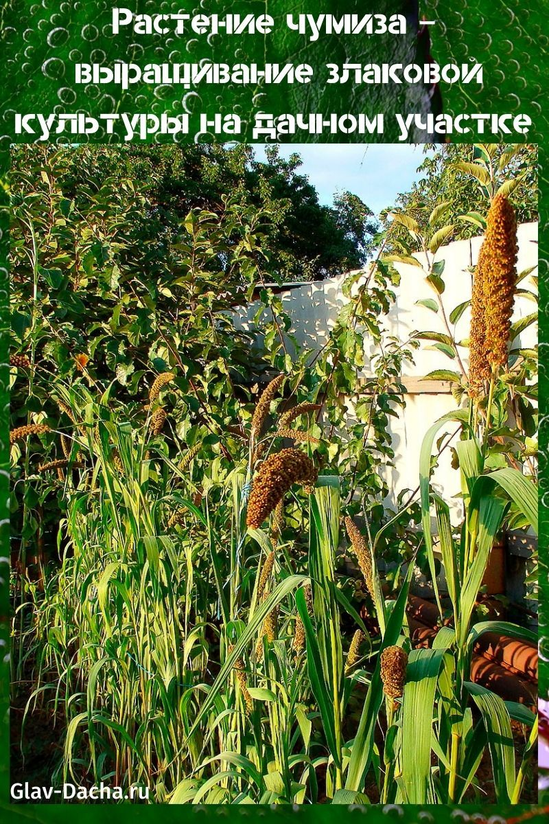 растение чумиза