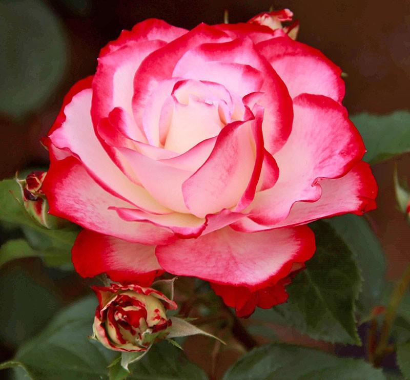 оригинальная роза юбилей принца монако