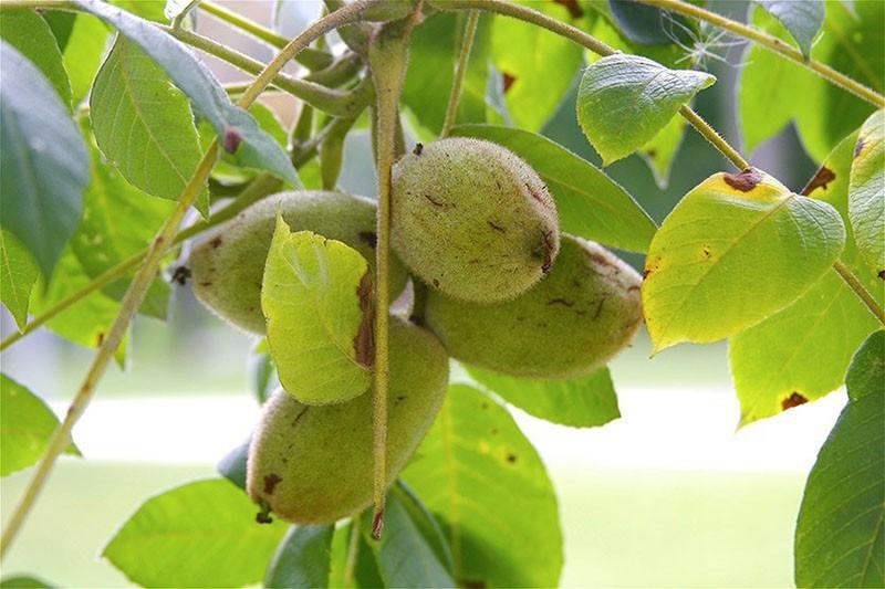 плоды серого ореха