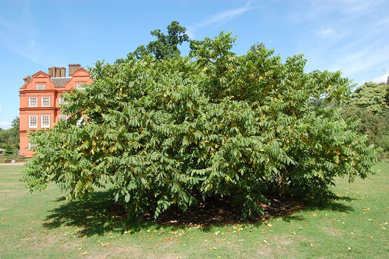 дерево серый орех