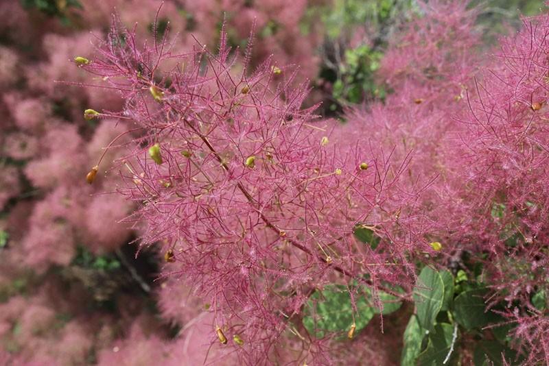 цветение скумпии