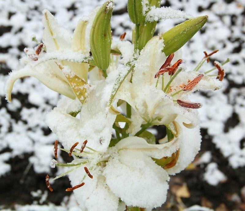лилия под первым снегом
