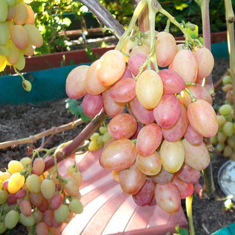 виноград багровый описание сорта