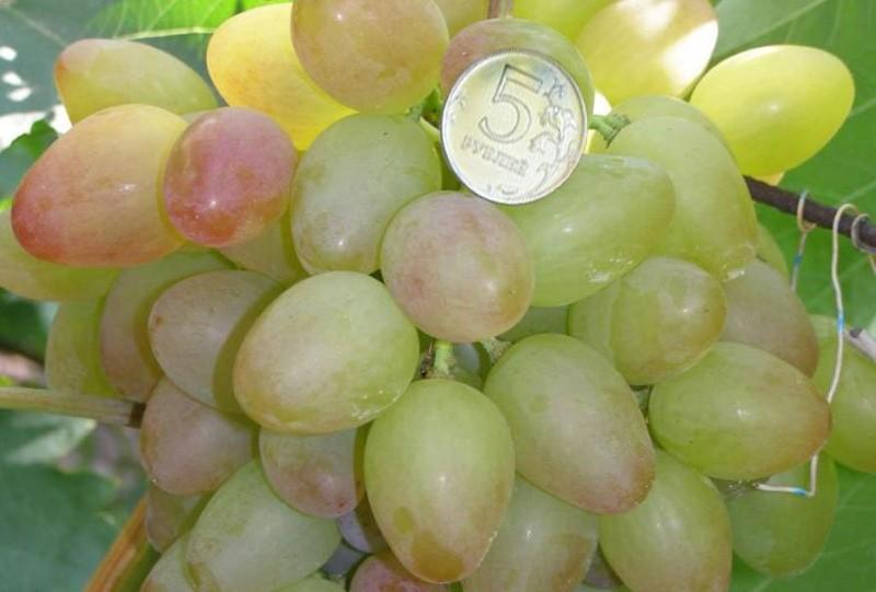 ягоды винограда багровый