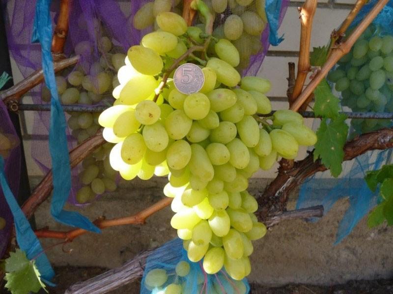 крупные ягоды винограда сорта столетие