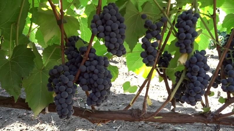 сорт виноград вэлиант
