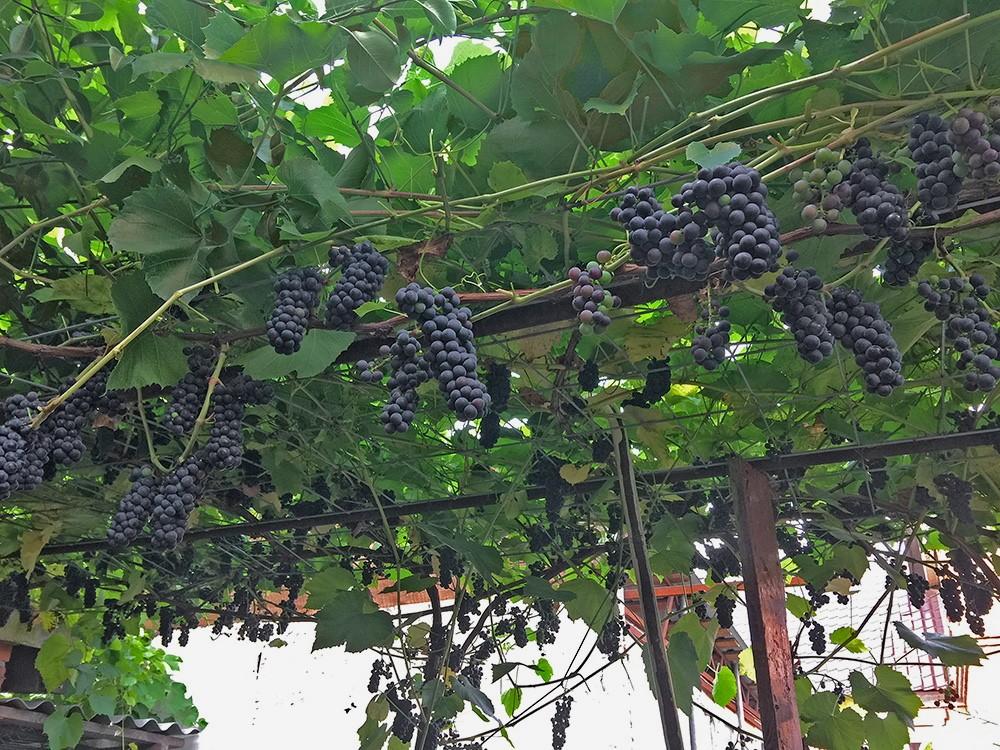 куст винограда вэлиант